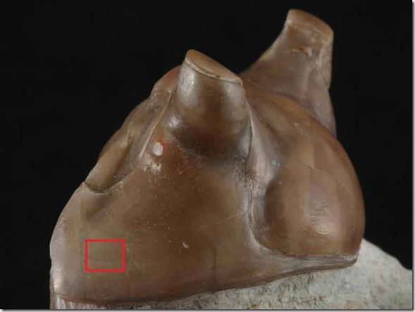 Asaphus kotlukovi tumidus-2